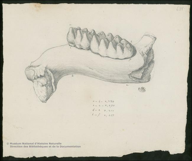 Quelles sont les premières espèces qui ont permis à Cuvier d'imaginer le concept d'extinction des espèces ?