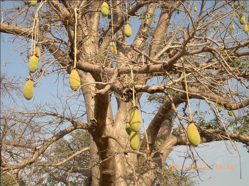 Comment s'appelle le fruit du Baobab ?