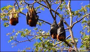 Quel est le nom de ces chauve-souris photographiées sur l'île aux Cerfs ?