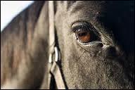 Pourquoi le cheval a-t-il un angle de vision de 340° ?