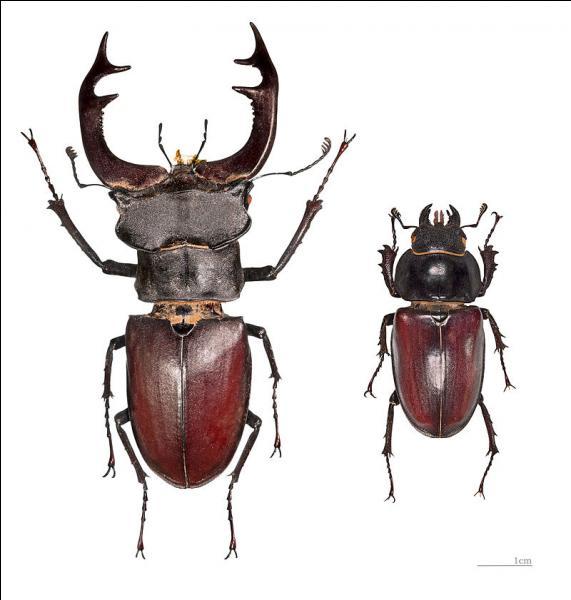 """Cet insecte vole et les mandibules du mâle ressemblent aux bois d'un cervidé. Grâce à ces indices, trouvez le nom courant du """"Lucanus cervus""""."""