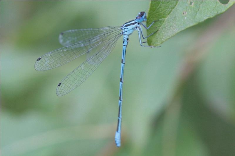 Cet agrion jouvencelle fait partie de l'ordre des odonates. Si la femelle adulte a un abdomen de couleur verdâtre, l'insecte de la photo est...