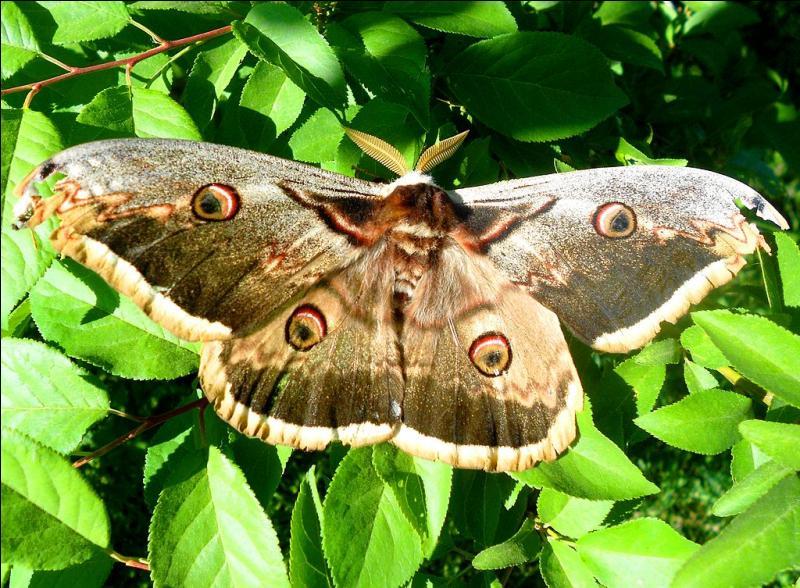 Cet insecte lépidoptère, le mâle étant le plus grand papillon d'Europe, doit son nom à des cercles de couleur sur ses quatre ailes. C'est donc...