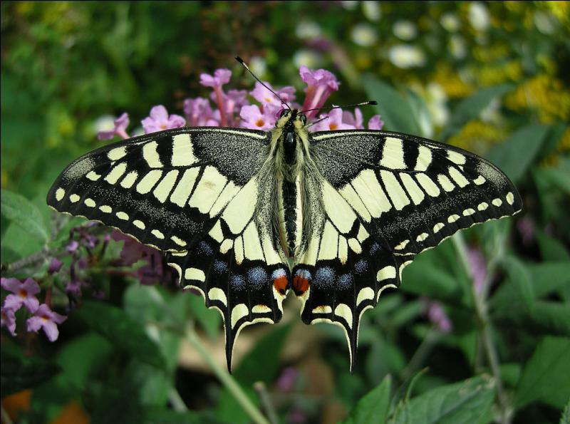 À quel ordre appartient ce papillon, le machaon ?