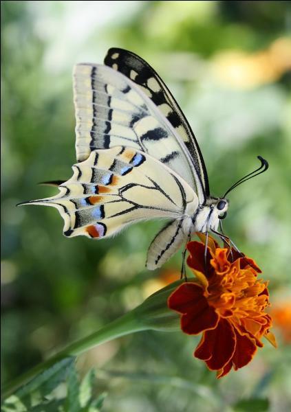 Voici une autre photo du machaon. C'est un papillon...