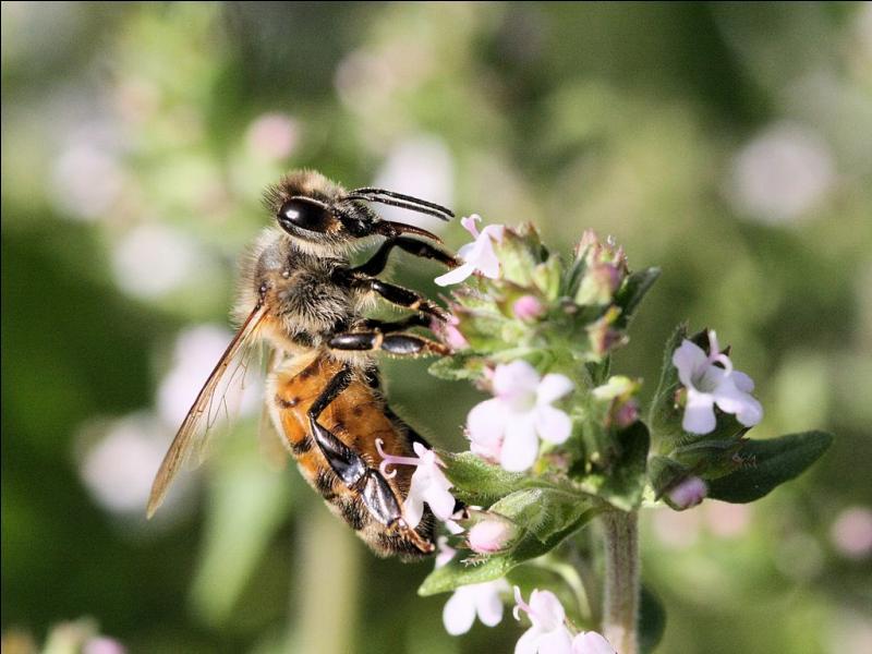 Apis mellifera. Quel est cet insecte ?