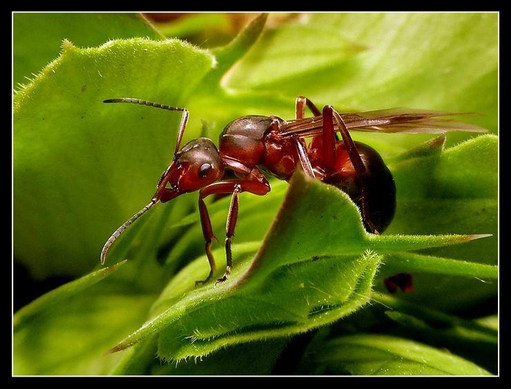 """""""Formica rufa"""", également connue sous le nom de fourmi rousse, a un moyen de défense efficace. Que fait-elle ?"""
