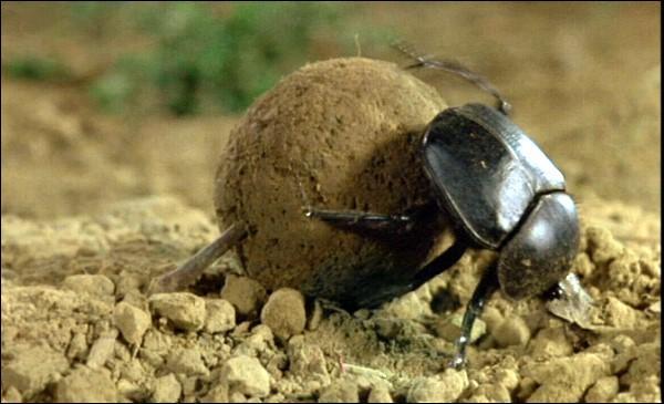 Ce scarabée sacré roule une boule de bouse vers un terrier afin d'y pondre un œuf. Il est le plus célèbre...