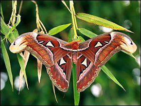 Combien mesure l'Attacus atlas le plus grand papillon du monde ?