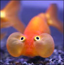 Pourquoi les poissons ne vont pas au cours d'anglais ?