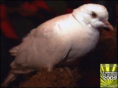 La plus vielle colombe est morte à l'âge de ....