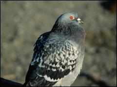 Le plus gros pigeon pesait 1.8 kg pour un tour de poitrail de ......