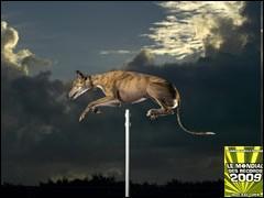 Le chien détenant le record du monde de saut en hauteur a sauté .....