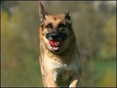Le chien ayant fait le plus de sauts a la corde en 1 minute !