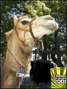 Le chameau le plus gradé... c'est ce chameau.  il exerce un métier assez particulier pour un animal et surtout un chameau ..... il est ...