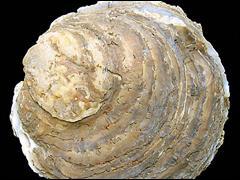 La plus grosse huitre mesurait 30.5 cm de long pour 14 cm de large avec un poids de .......... un repas de noel a elle toute seule !