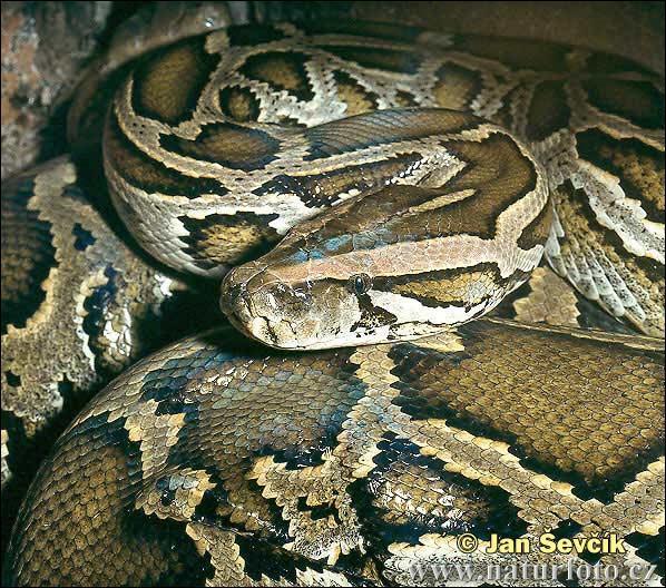 Le plus gros serpent a été retrouvé en Indonésie, il mesurait :
