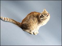 La plus longue queue appartenant à un chat domestique mesure :