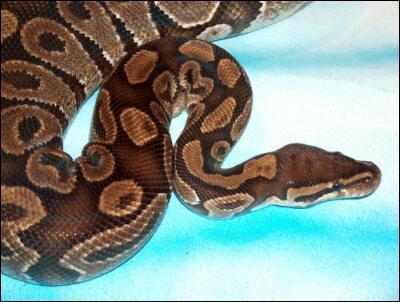 Et ce même serpent pesait :