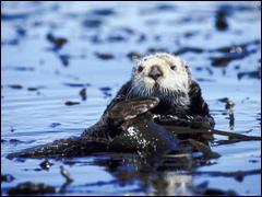 L'animal possédant la fourrure la plus dense est la loutre de mer. avec plus de .............. poils par cm2 de peau !!