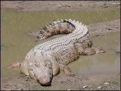 Le plus grand crocodile retrouvé mesure .....