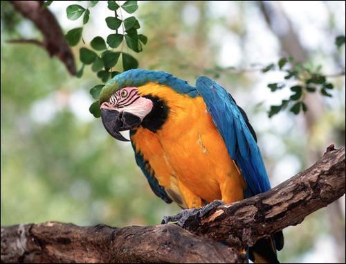Mais en liberté, les perroquets peuvent vivre jusqu'à ...