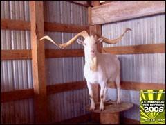 Les plus longues cornes appartenant à une chèvre mesurent ....