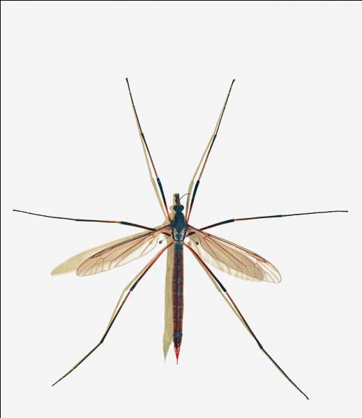 """En France et en Belgique, on l'appelle souvent """"cousin"""". Au Québec, on l'appelle """"patineuse"""" mais quel est le nom exact de ce diptère aux allures de moustique géant ?"""