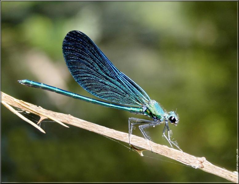 On distingue les zygoptères des libellules par leur corps plus grêle et leurs ailes généralement repliées au repos.Comment surnomme-t-on habituellement ces insectes ?