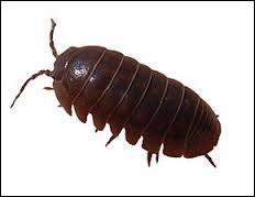 """Les cloportes, porcellions ou """"cochons de cave"""" sont des insectes."""