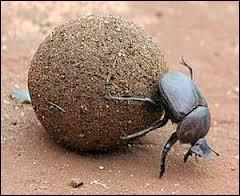 Les scarabées bousiers sont connus pour se déplacer en poussant une boule d'excréments qu'ils utilisent comme matériau de construction et comme nourriture, on peut donc dire qu'ils sont...