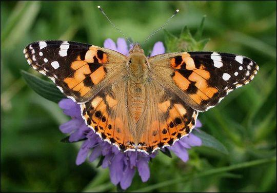 """Pour finir, sous quel nom est plus connu le papillon nommé """"vanesse du chardon""""?"""