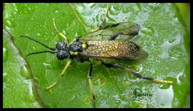 """La tenthrède est appelée """"mouche à scie"""" mais comment nomme-t-on sa larve?"""