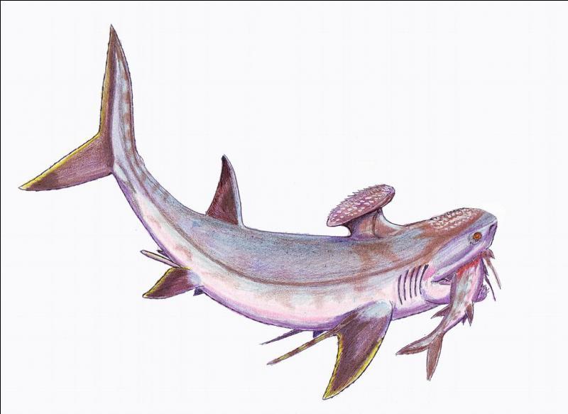 Nous pensons que seule la femelle Stethacanthus possédait cette brosse au niveau de la nageoire dorsale.