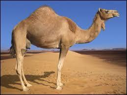 Combien de bosses possède le chameau ?