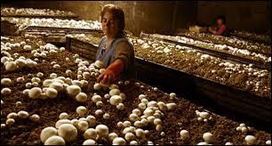 Parmi ces trois champignons, lequel peut être cultivé en champignonnière ?