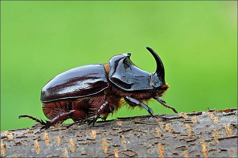Quizz quelques col opt res quiz insectes - Insecte vert volant ...