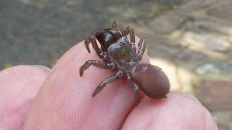 Elle creuse un tunnel d'une vingtaine de centimètres, fermé par un opercule, dispose des fils de soie autour, qui l'avertissent du passage d'une proie et sort alors du tunnel pour l'attraper, on l'appelle la mygale maçonne !