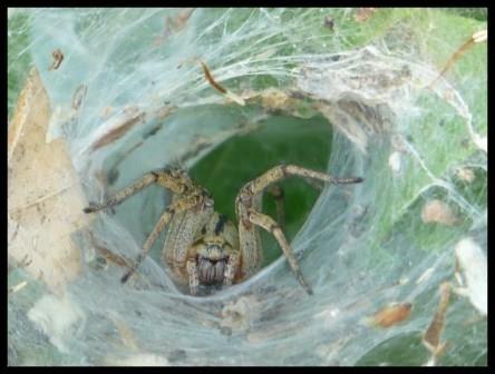 Sur sa toile, c'est dans un tube de soie qu'elle se met à l'affut, c'est sans doute ce qui fait qu'on la surnomme araignée à labyrinthe !