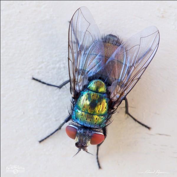 """Quel personnage du film d'animation """"Peter Pan"""" porte le même nom que cet insecte très réputé ?"""