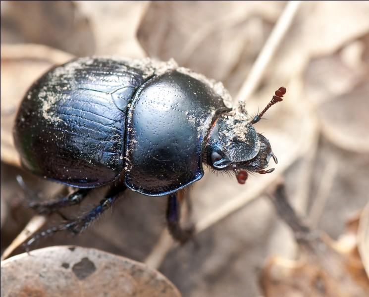 Cet insecte doit son nom au fait qu'il...