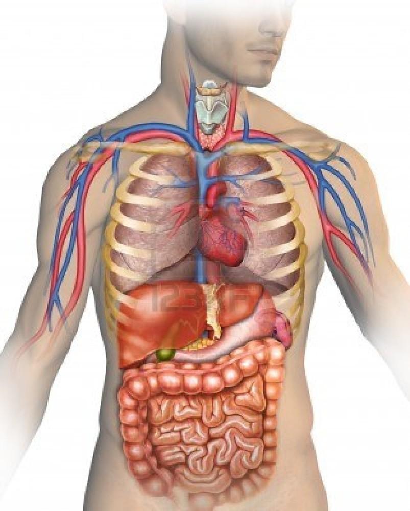 Le corps humain et ses caractéristiques