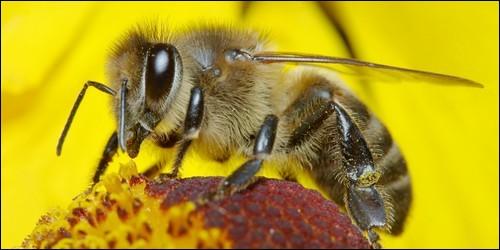 L'autre nom de l'abeille est la « mouche à miel ».
