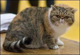 Quel est le nom de cette race de chat présentée sur la photo ?