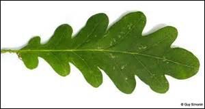 Quel arbre qui est apprécié pour la qualité de son bois a une feuille simple et lobée ?