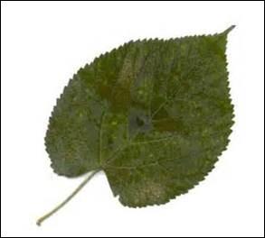 Quel arbre dont les fleurs odorantes sont utilisées en infusion a des feuilles en forme de coeur ?