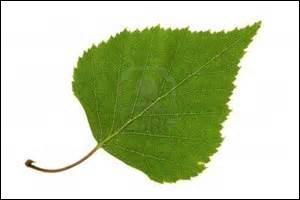 Quel arbre fréquent sur les terrils du Nord de la France et de la Belgique a une feuille simple et dentée ?