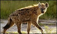 Quel est ce mammifère capable de broyer des os d'éléphant et de girafe ?