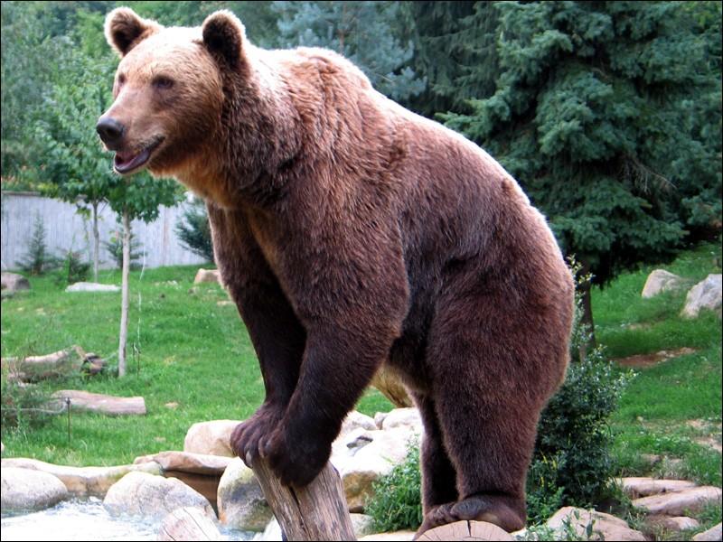 Cet animal, en captivité dans le Parc animalier des Pyrénées, fait partie de la famille des Ursidés.