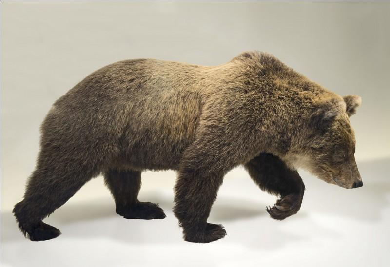 La dernière ourse de souche pyrénéenne pure s'appelait Cannelle. Vidéo !